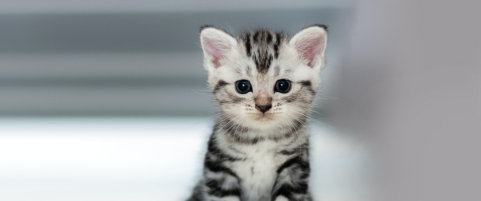 Image of: Petsmart Richmond County Nc Official Website Adoptable Cats Humane Society Of Summit County